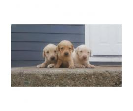 Full blooded labrador puppies for sale