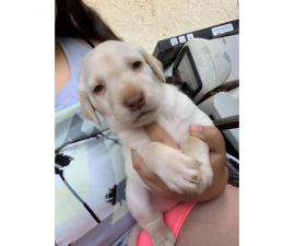 8 wonderful Lab puppies for sale