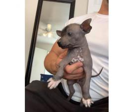 Rare Xoloitzcuintli puppies for adoption