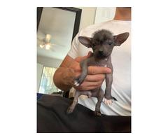 Rare Xoloitzcuintli puppies for adoption