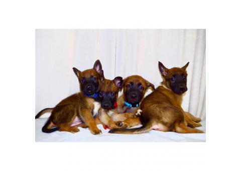 3 males Belgian Malinois Puppies