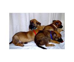 3 males Belgian Malinois Puppies