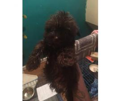 Yorkie X Shihtzu Puppy