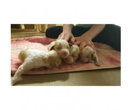 Brittany spaniel puppies for sale in new york