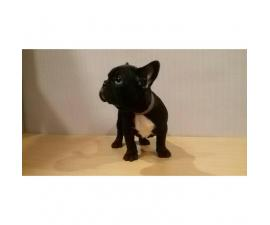 French bulldog female for sale