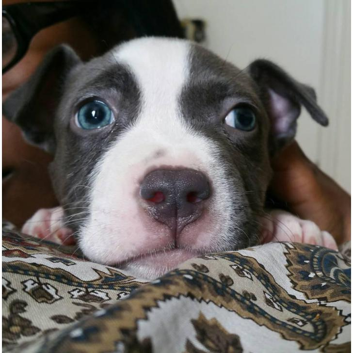 Blue Nose Pitbull Puppies For Sale In Bronx New York Puppies For Sale Near Me