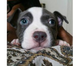 blue nose pitbull puppies for sale