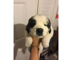 Saint bernard puppies for sale one male left