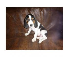 Treeing walker puppies for sale in wisconsin