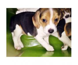 3 beagle puppies for sale