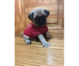 Pug pups for sale 6 weeks old