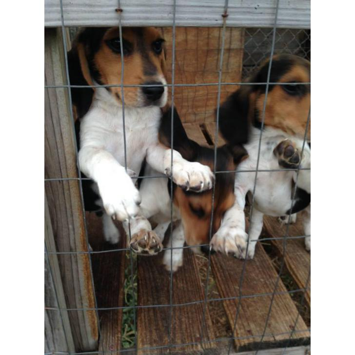 3 Months Old Beagle Puppies 2 Male Available In Cartersville
