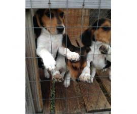 3 months old beagle puppies, 2 male available