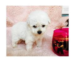Micro teacup morkie puppies
