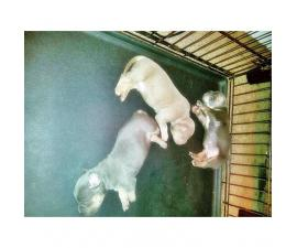 ABKC Tri color bullys puppies for sale
