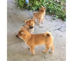 5 Purebred Shiba Inu Puppies for Sale