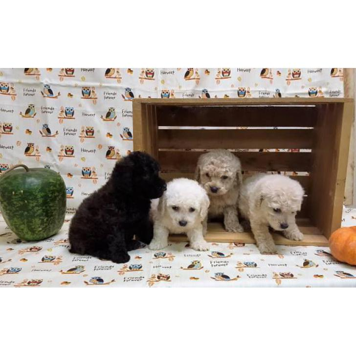 8 Weeks Old Toy Poodle Puppies Non Shedding Hypo