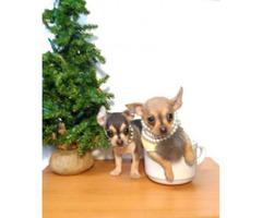 9 Weeks old Teacup Apple head chihuahua puppies