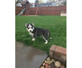 8 week old blue eyed husky puppies for sale