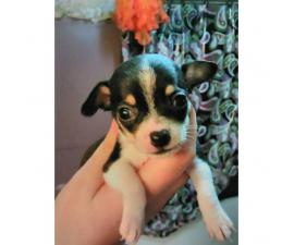 Full blooded chihuahua black/white male