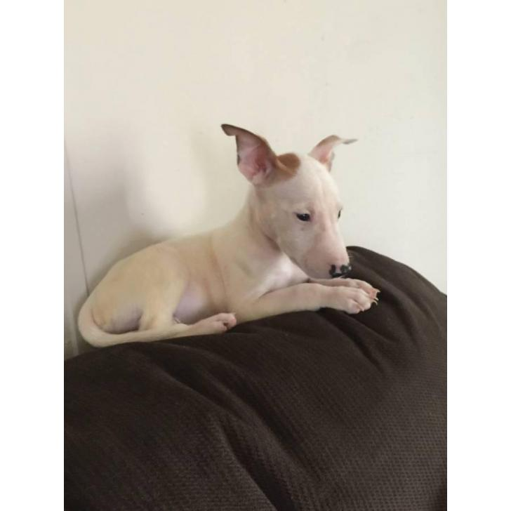 Ckc Registered Mini Bull Terriers Puppies In Columbus Georgia Puppies For Sale Near Me