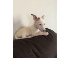 CKC registered mini bull terriers puppies