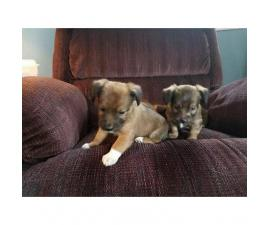2 lovely Jack Chi Puppies