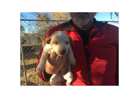 Bluetick walker hound mix 7 puppies left