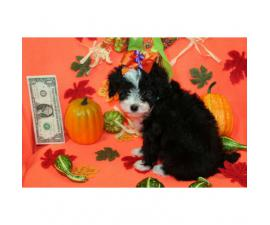 3 stunning female Poodle puppies