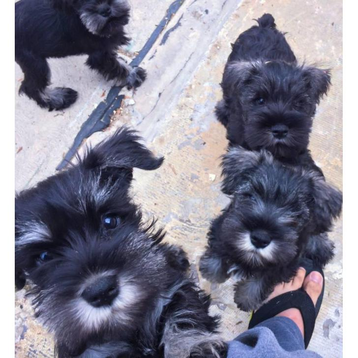 AKC registered mini schnauzer puppies in CA (With images
