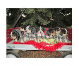 6 Blue Tick Coonhound puppies for sale