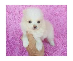 Beautiful three month old Pomeranian