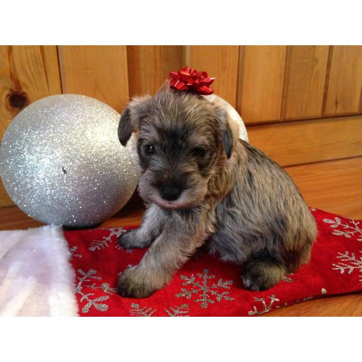 Miniature Schnauzer Pups In Piney Flats Tennessee Puppies For Sale Near Me