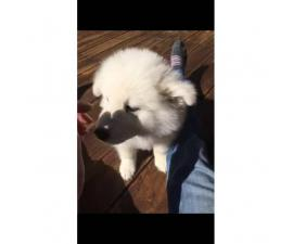 12 week old Male Samoyed puppies for adoption