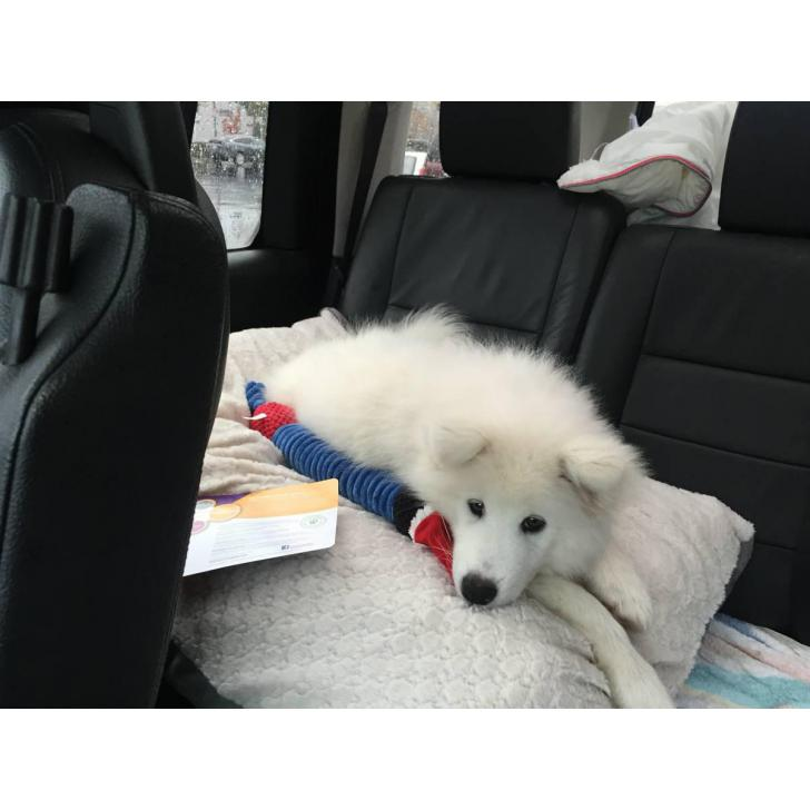 12 week old Male Samoyed puppies for adoption in Issaquah ...