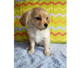 Charming Min Pin Pomeranian Mix for Sale