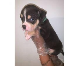 Bully Pups For Sale 5 Males 2 Females In Aberdeen