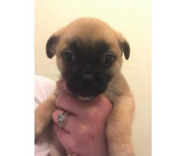 Pom-A-Pug Puppies 3 Available