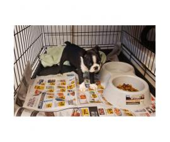 One male Boston Terrier puppy