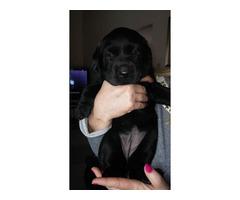 AKC Labrador Puppy (Black)