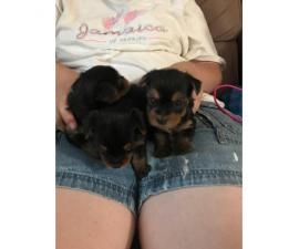 For Adoption: 3 female and 2 male Yorkies