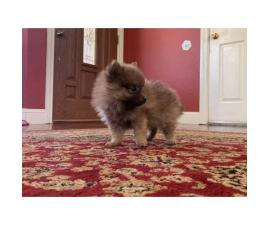 Purebred 8 week old Pomeranian pups for sale