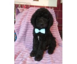 Gorgeous Goldendoodle puppies for sale