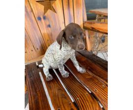 AKC German Shorthaired Pointers litter