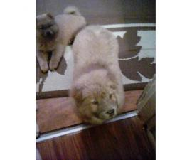 2 affordable Chow Chow puppies for adoption