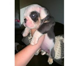 6 week old quality English bulldogs for sale