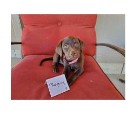 Chocolate Labs for Sale 1 male left and 6 females