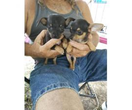 Chihuahua Puppies 2 males and 3 females