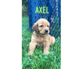 5 males Akc golden puppies for sale