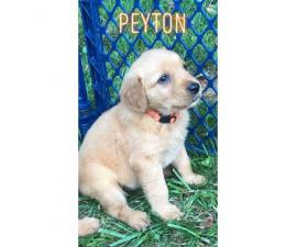 5 malesAkc golden puppies for sale